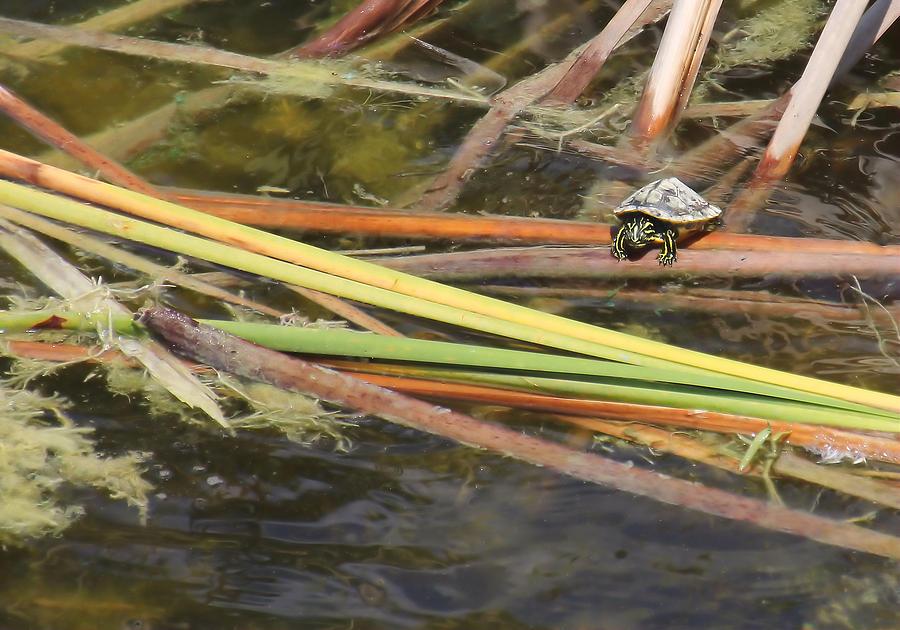 Turtle Photograph - Teeny Tiny Turtle by Rosalie Scanlon