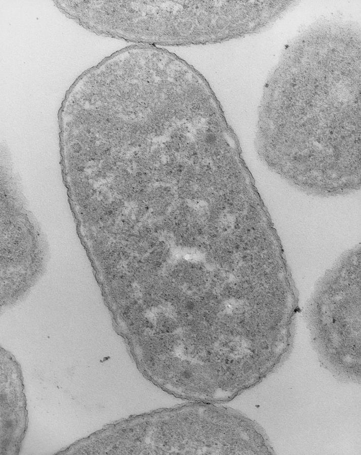 E coli bacteria in a cell  Stock Image B2300158