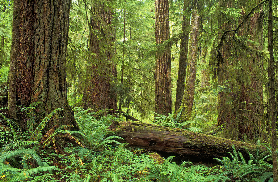 Temperate Rainforest Photograph By Greg Vaughn