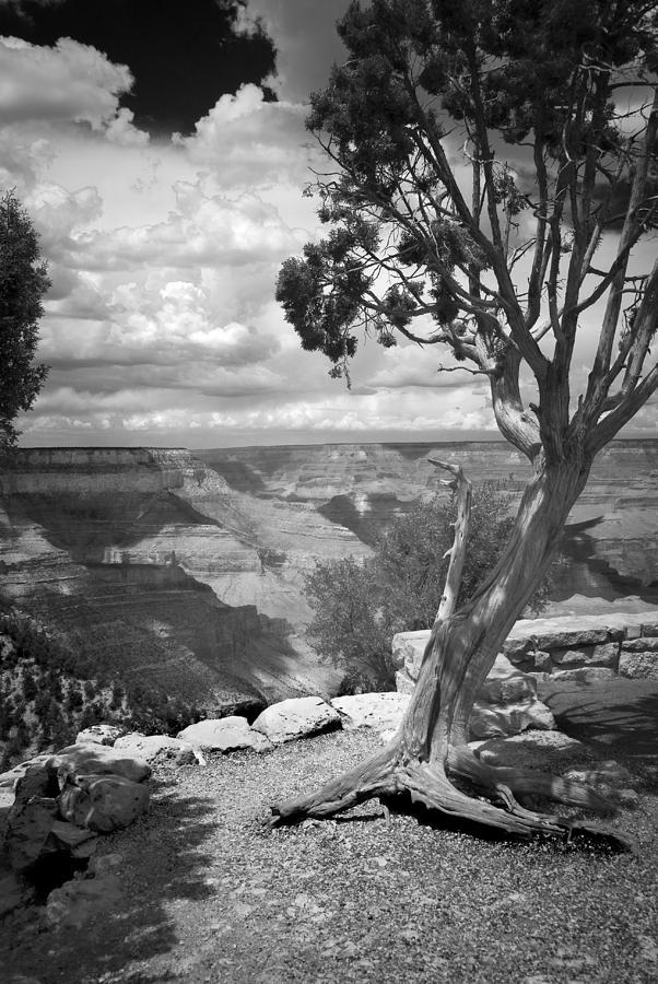 Grand Canyon Photograph - Tenacity Black And White by Cindy Rubin
