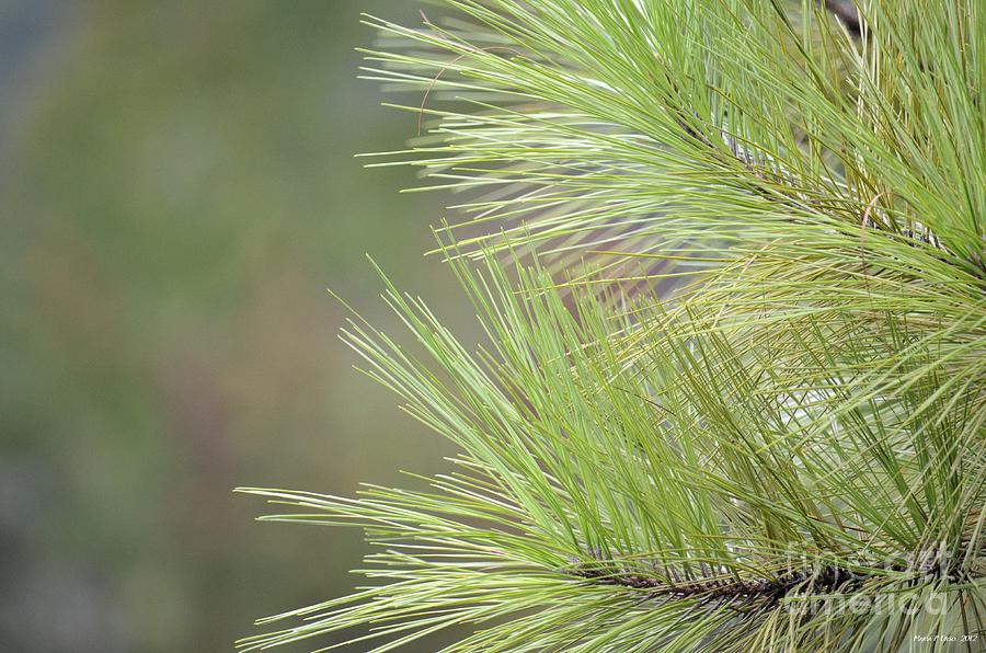 Tender Photograph - Tender Pines by Maria Urso