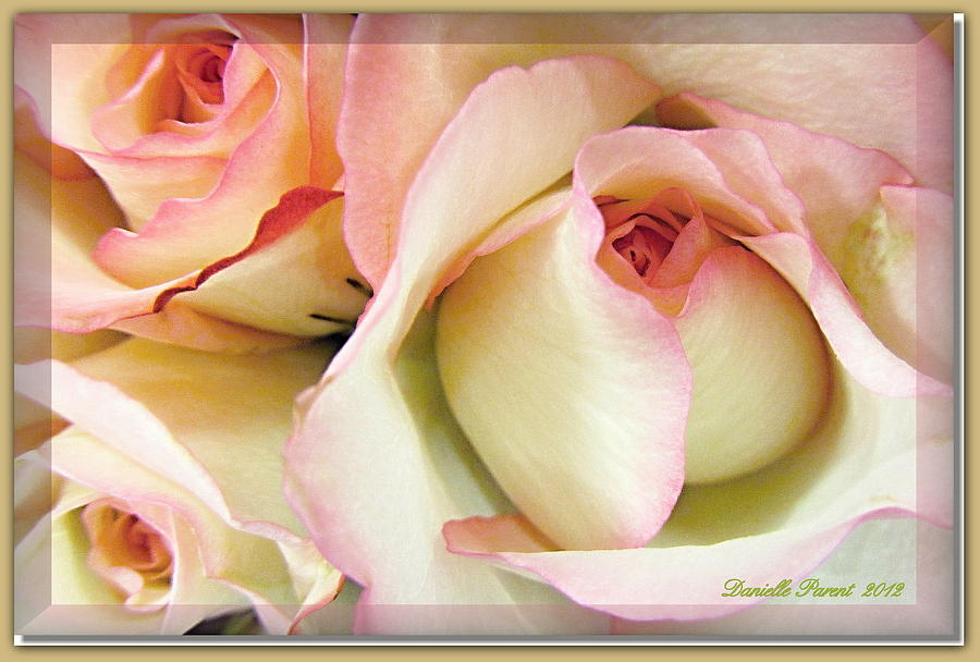 Roses Photograph - Tenderdly  Rose by Danielle  Parent