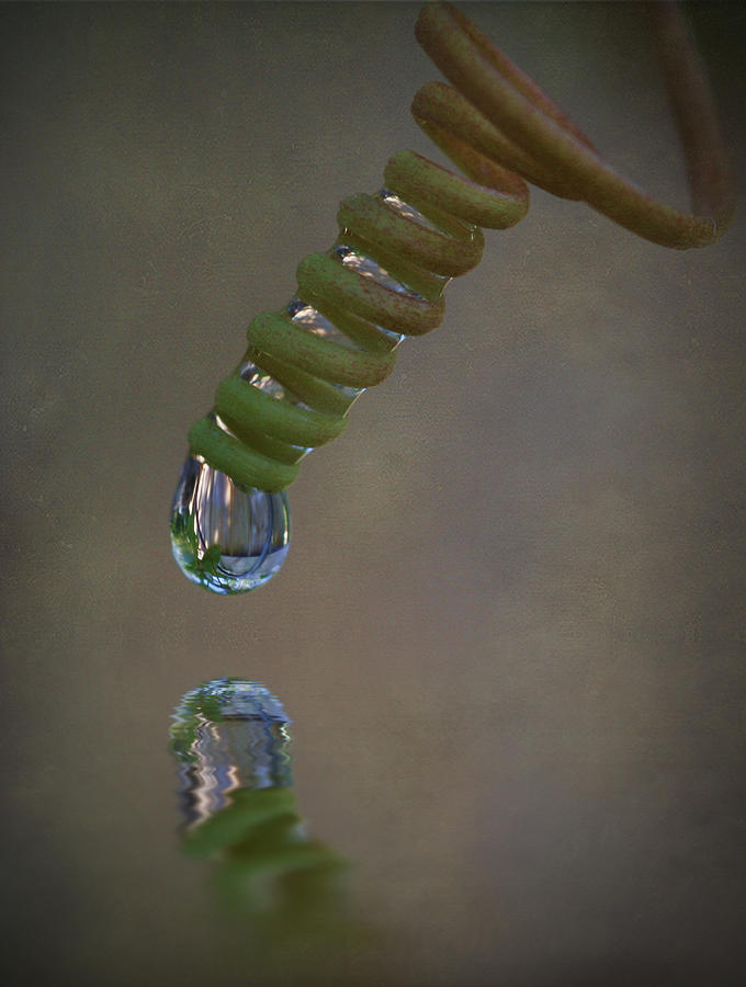 Macro Photograph - Tendril Droplet  by Kym Clarke