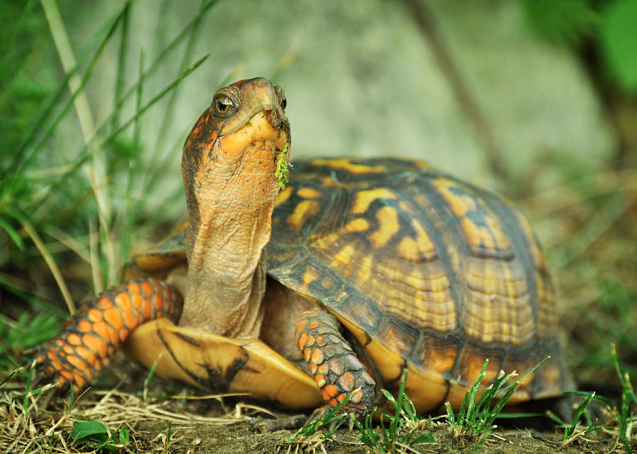 Terrapene Carolina Photograph - Terrapene Carolina Eastern Box Turtle by Rebecca Sherman