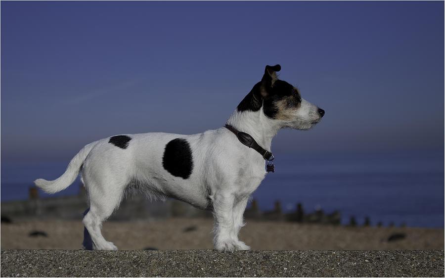 Jack Russell Photograph - Terrier by Nigel Jones