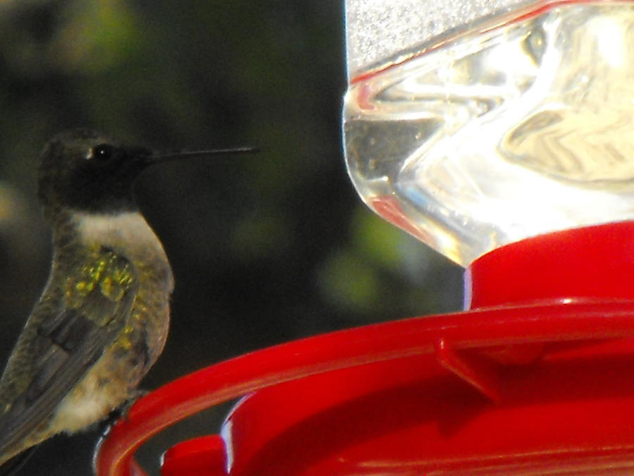 Texas Hummingbird Photograph by Rebecca Cearley