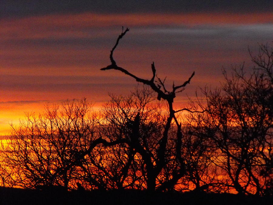 Texas Spanish Oak Tree  Sunset Photograph by Rebecca Cearley