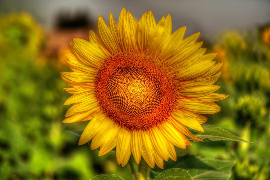 Hdr Photograph - Thai Sunflower by Adrian Evans