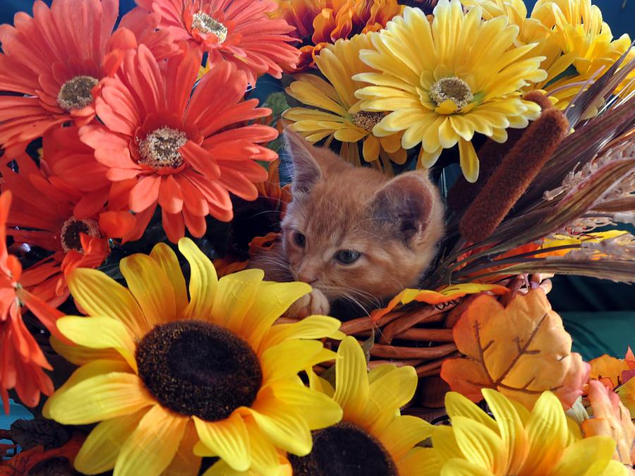 Thanksgiving Photograph - Thanksgiving Kitten Sitting In A Flower Basket Peeking Through Sunflowers - Kitty Cat In Falltime  by Chantal PhotoPix