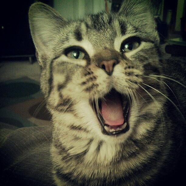 Pussy Photograph - That Awkward Yawn Moment. #cat #cats by Bob Ralston