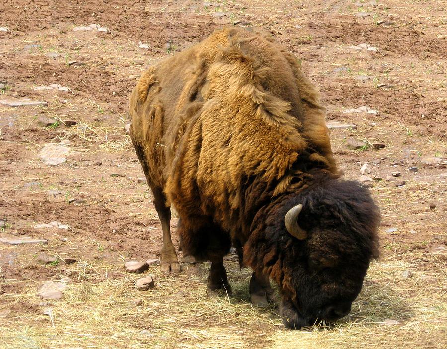 Buffalo Photograph - The American Buffalo by Bill Cannon