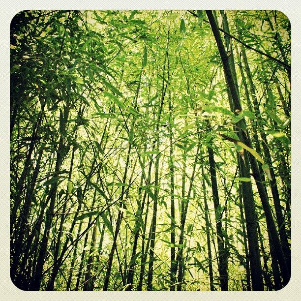 Instagram Photograph - the Bamboo That Bends Is Stronger by Thanh Bui