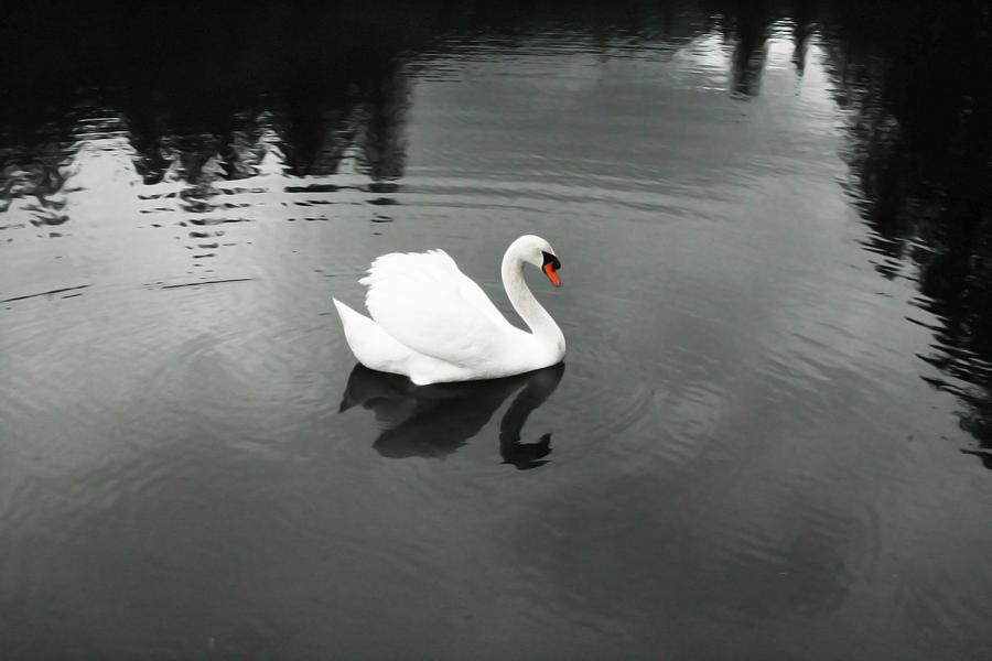Swan Photograph - The Beautiful Biting Bastard  by Janet Kearns