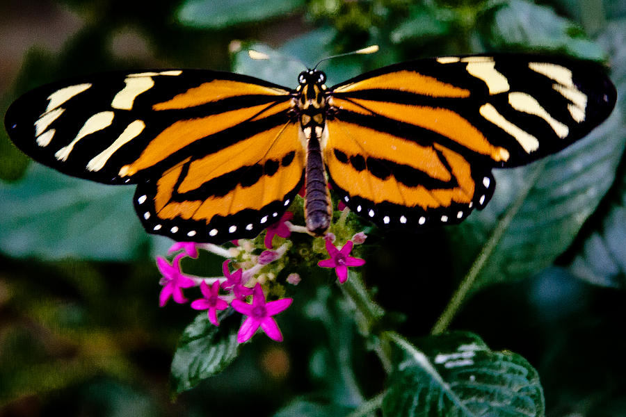 Butterfly Photograph - The Beautiful Tiger Butterfly by David Patterson