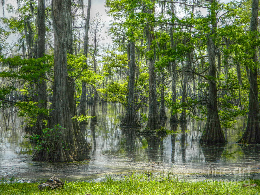 Swamp Photograph - The Beauty of Louisiana Swamp by Ester McGuire