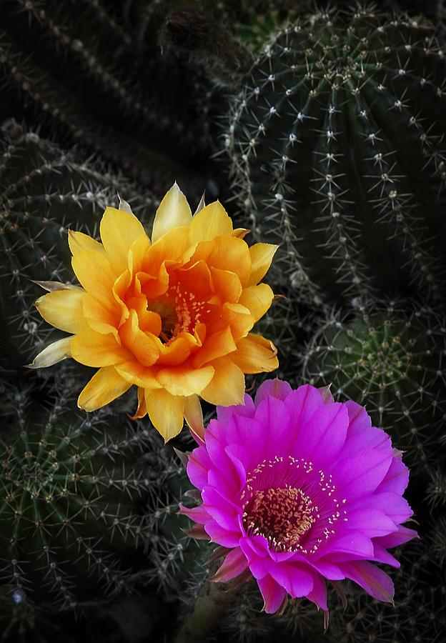 Night Blooming Cactus Photograph - The Beauty Of The Desert  by Saija  Lehtonen