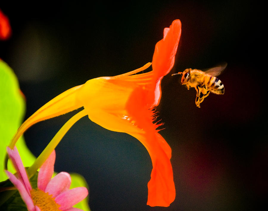 Flowers Photograph - The Bee by Mickey Clausen