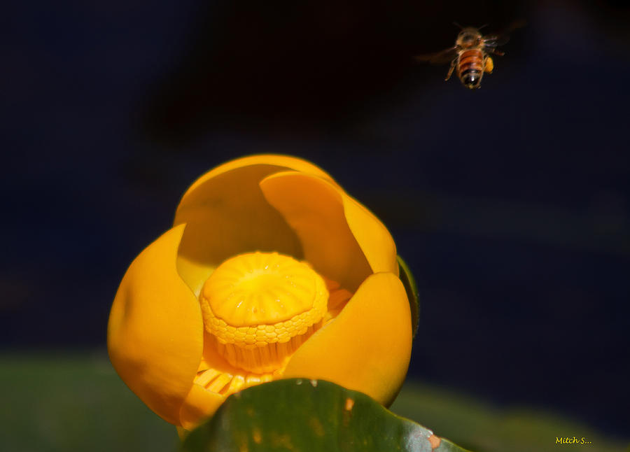 The Bee Photograph - The Bee by Mitch Shindelbower