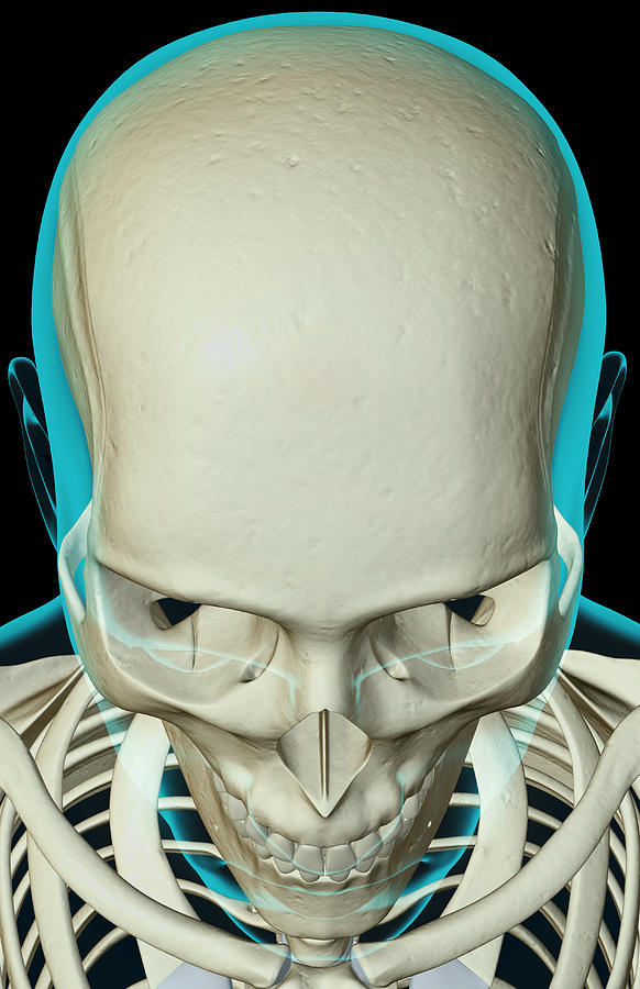 The Bones Of The Head And Face Digital Art by MedicalRF.com
