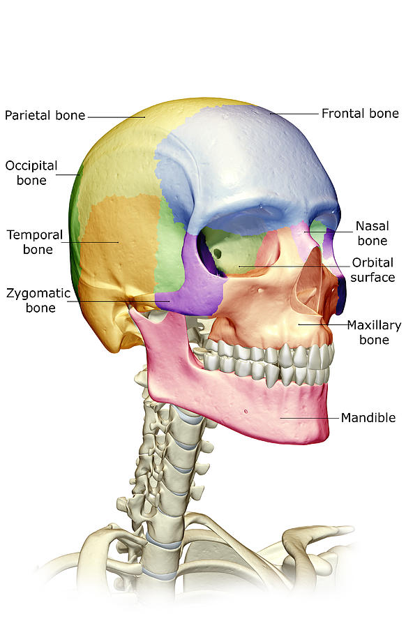 The Bones Of The Head Neck And Face By Medicalrf