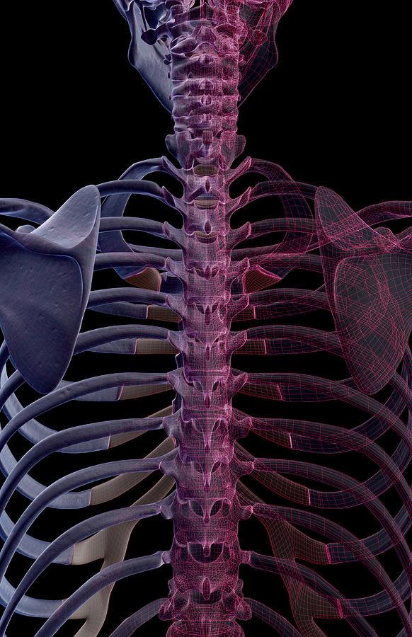 Vertical Digital Art - The Bones Of The Upper Body by MedicalRF.com