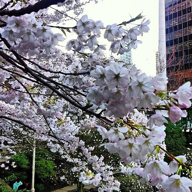 Instagram Photograph - The #cherry #blossoms Are Coming Into by Victor Wong