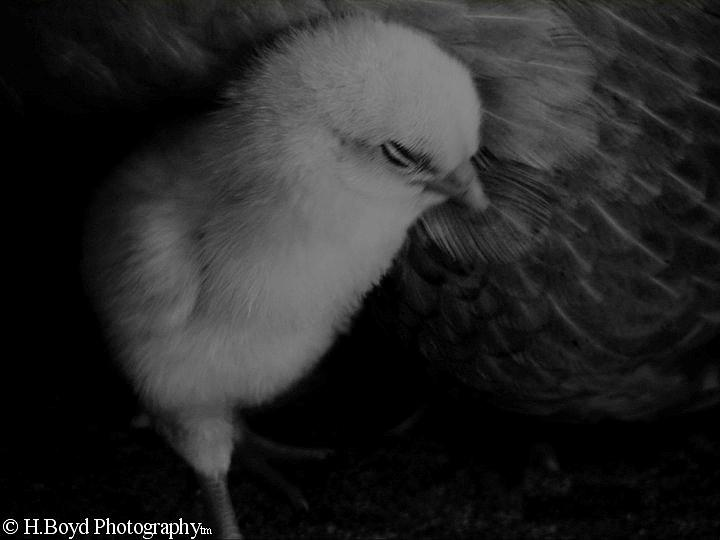 Chick Photograph - The Chick by Heather  Boyd