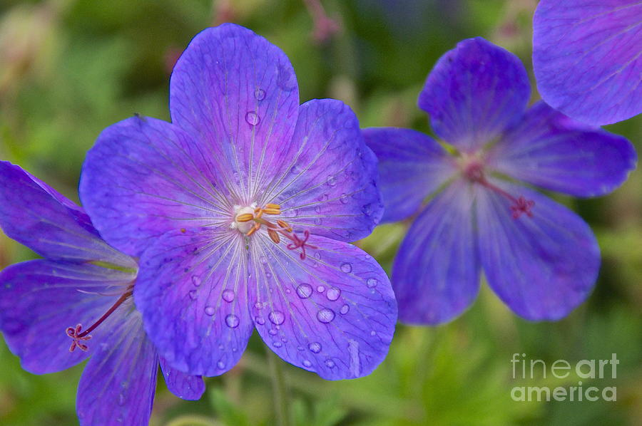 Photography Photograph - The Color Purple by Sean Griffin