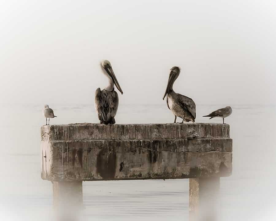 Pelicans Photograph - The Comedians by Scott Meyer