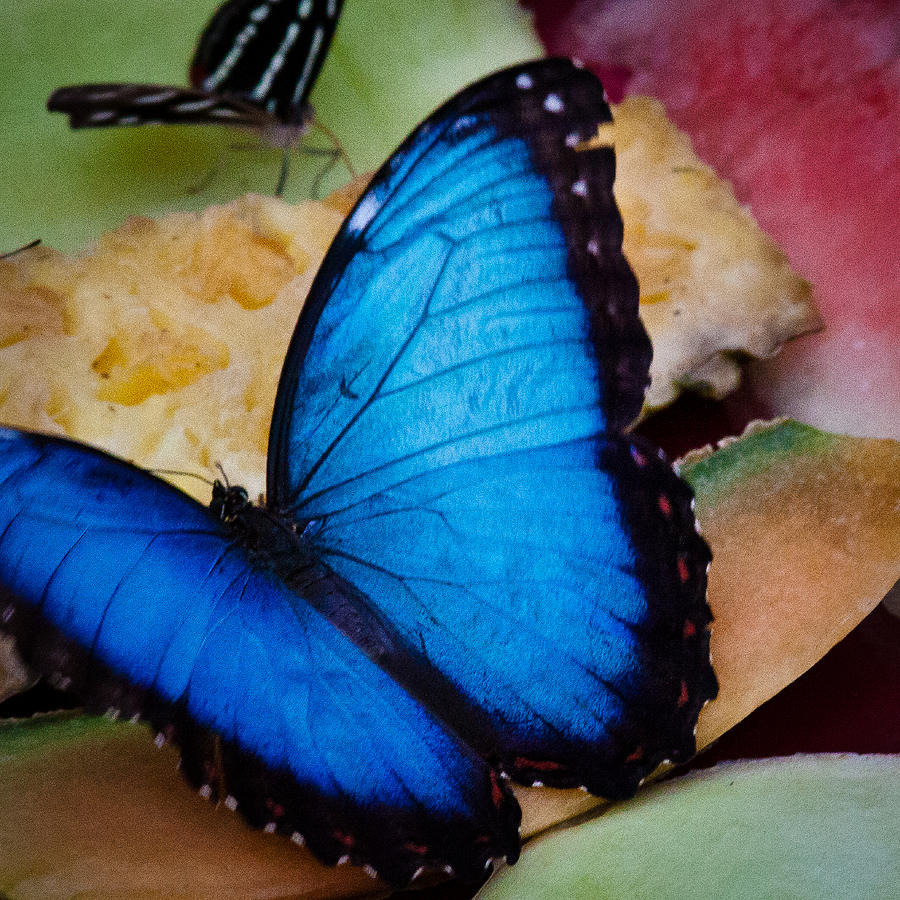Butterfly Photograph - The Common Blue Morpho Butterfly by David Patterson