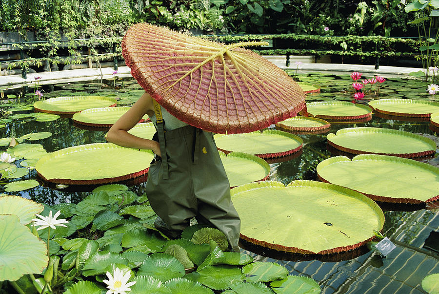 The Cut Pad Of A Victoria Amazonica Photograph By Jonathan