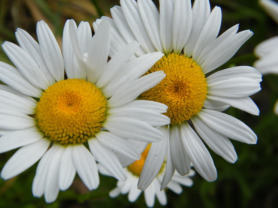 Daisy Photograph - The Daisies Are Watching You by Mary Sedivy