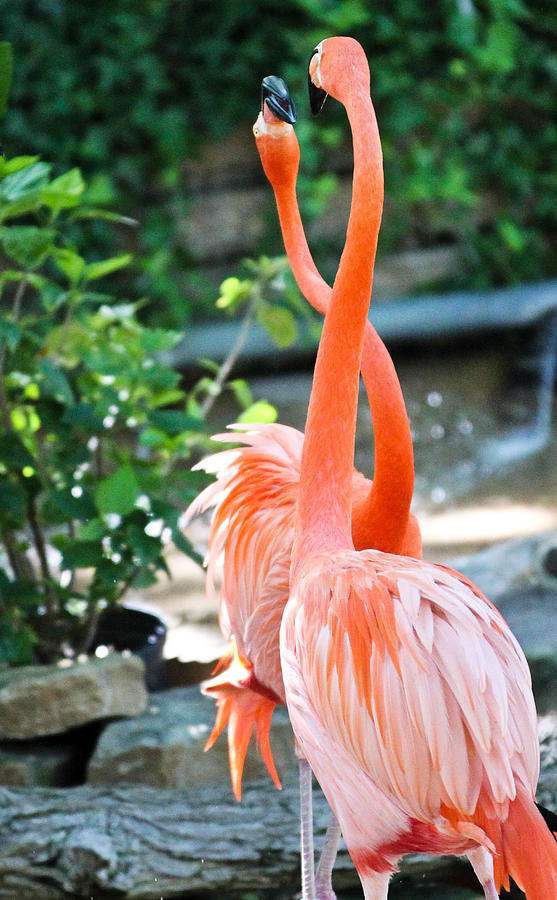 Flamingo Photograph - The Dance by Elizabeth Hart