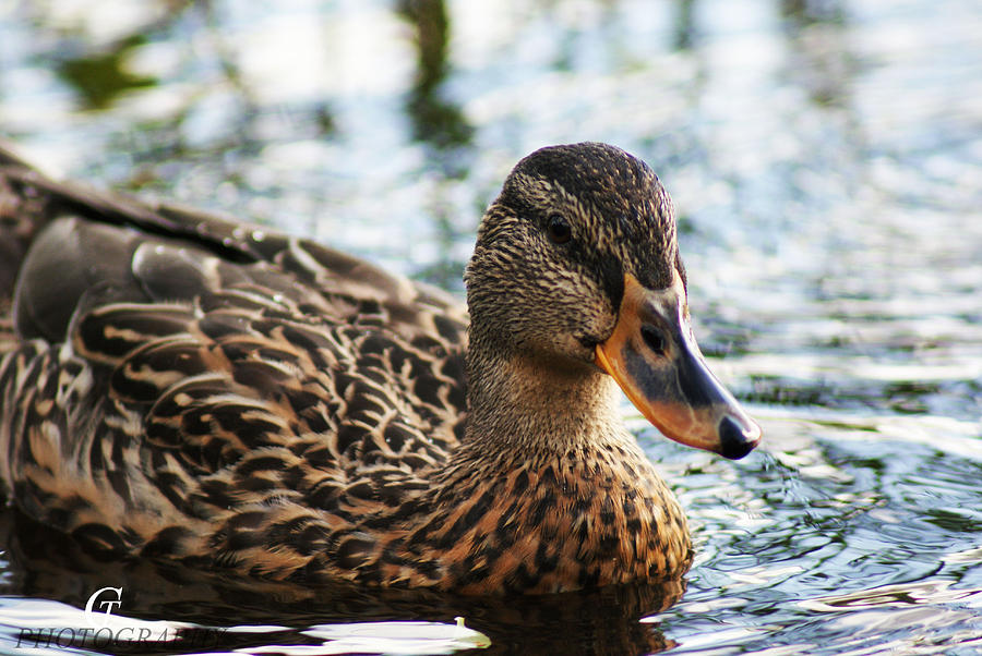 Duck Photograph - The Duck 69 by Carolina Artemis Tamvaki