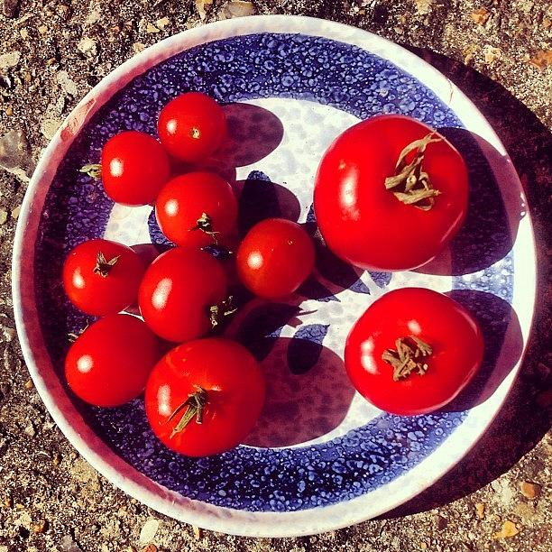Tomato Photograph - The Entire Crop by Nic Squirrell
