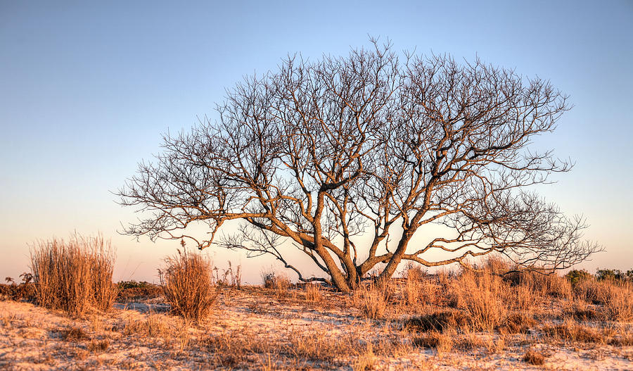 Assateague Island Photograph - The Family Tree by JC Findley