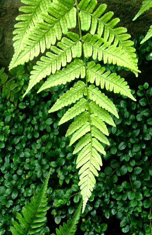 Fern Photograph - The Fern by Mindy Newman