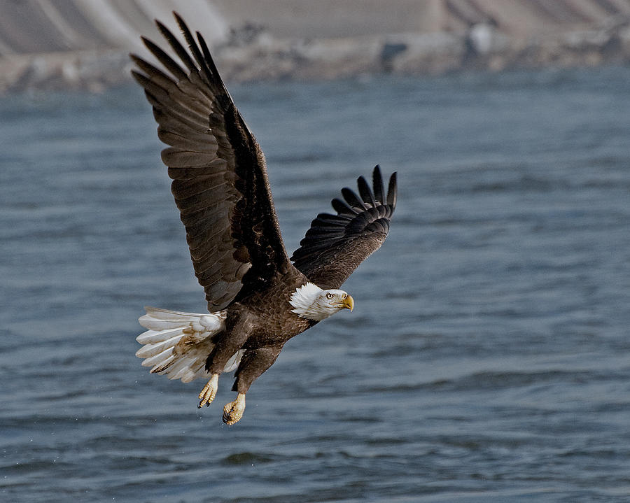 Eagle Photograph - The Few   - The Proud by Michael Rucci