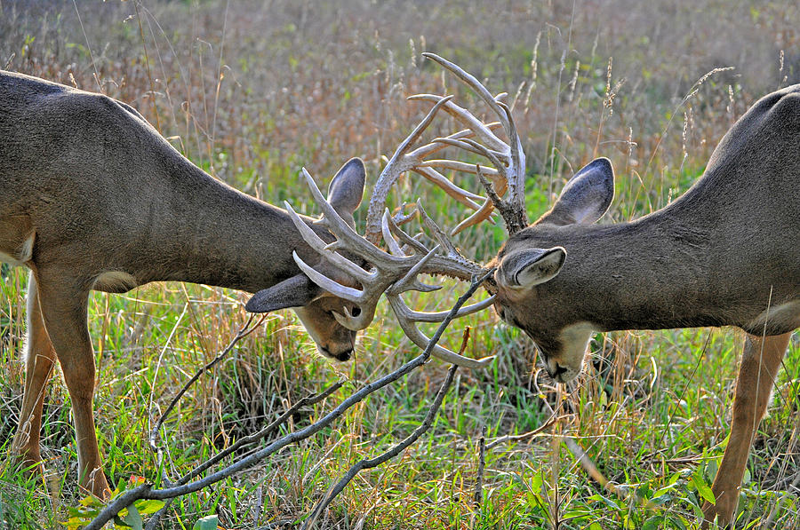 Whitetail Buck Photograph - The Fight by Emily Stauring