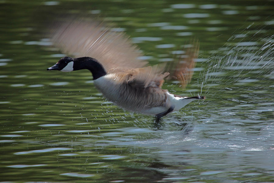 Canadian Geese Photograph - The Flight by Karol Livote