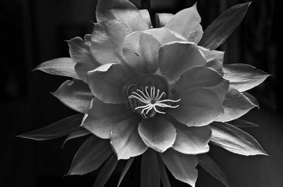 Flower Of One Night Photograph - The Flower Of One Night by Tom Bell