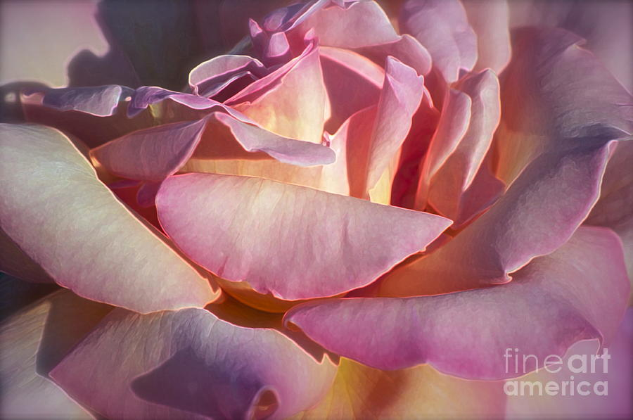 Rose Photograph - The Fragrance by Gwyn Newcombe