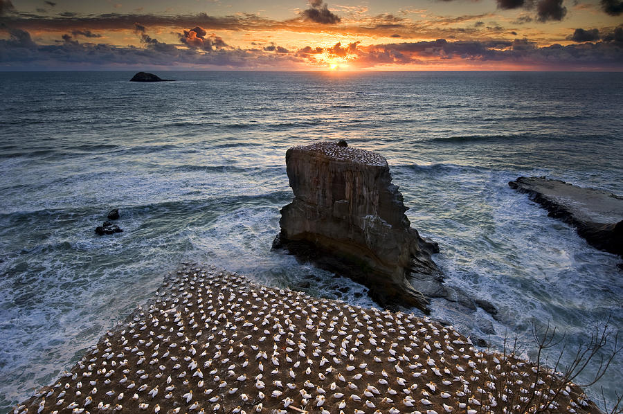Gannet Photograph - The Gannet Colony by Ng Hock How