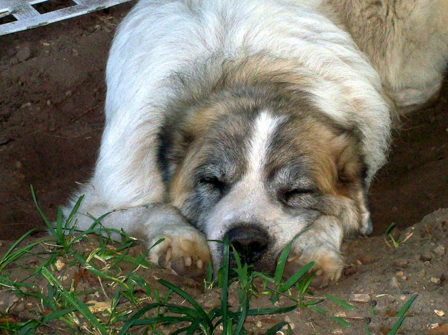 Dog Photograph - The Gentle Giant by De Beall