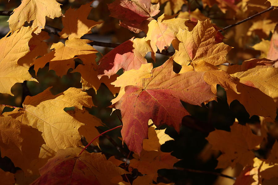 Leaf Photograph - The Golden Days Of October by Lyle Hatch