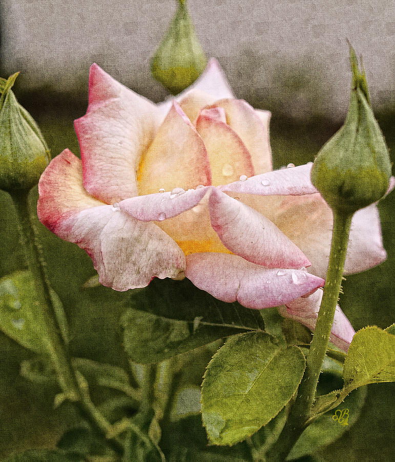 Rose Photograph - The Grand Trine by Barbara Middleton