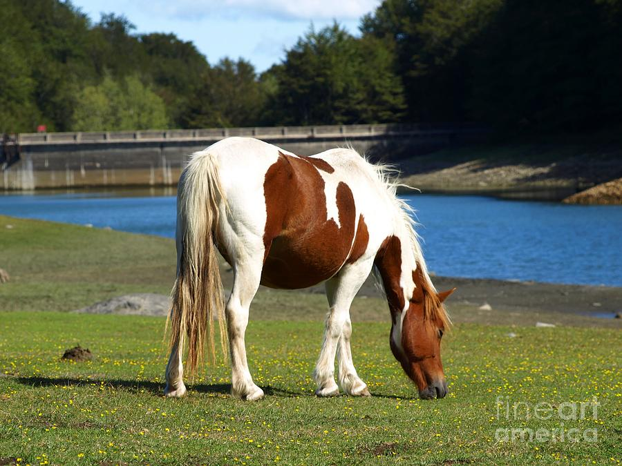 Grass Photograph - The Grazing Mare by Alfredo Rodriguez