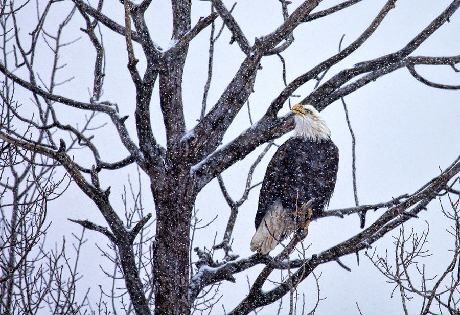 Eagle Photograph - The Great American Bald Eagle by Gary Smith