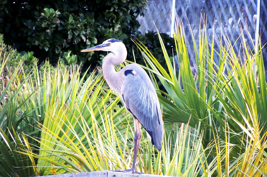 Birds Photograph - The Great Blue Heron by Marilyn Holkham