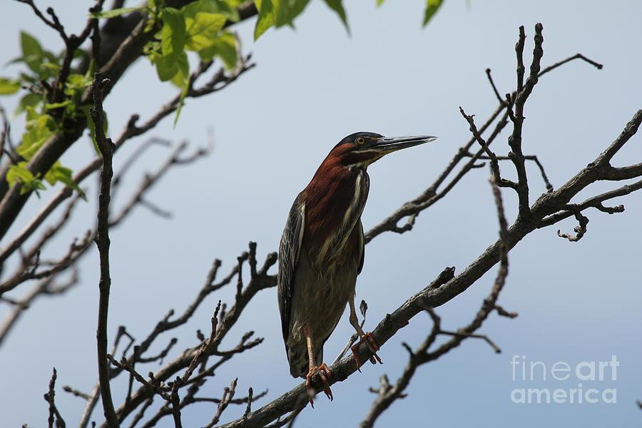 Birds Photograph - The Green Heron by Scenesational Photos